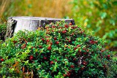 Puolukka  ,Lingonberry or Cowberry (14608). kanto, marja, metsä, metsämarja, punainen, puolukka, syksy, timo reponen, varpukasvi