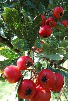 Romantic Flowers, Exotic Fruit, Herbal Medicine, Wonders Of The World, Flower Art, Herbalism, Apple, Vegetables, Health