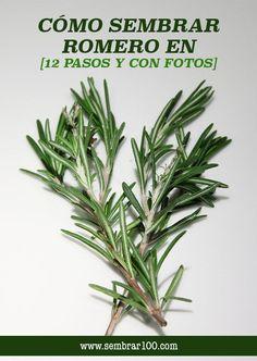 Cómo Sembrar Romero en [12 Pasos y con Fotos] #romero #jardín #huerto