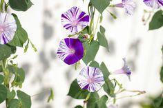 夏の花 - Google 検索