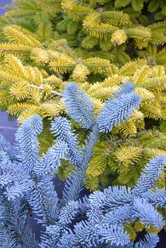 Abies pinsapo glauca and Abies nordmanniana 'Golden Spreader' are working the blue and yellow combination 365 days of the year