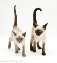 Siamese Kittens-Facts | Club Siamese