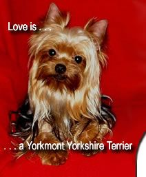 Yorkshire Terrier Breeders Yorkmont Yorkshire Terriers GA http://www ...