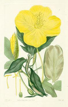 Robert Sweet Flower Garden 1838