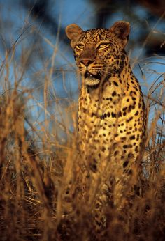 ♂ wildlife photography Makwela #Leopard #animals