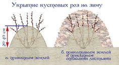схема укрытия роз на зиму