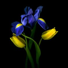 Blue and yellow.  Irises and tulips.