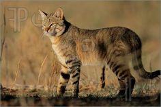 Wildlife: An African wild cat (Felis silvestris lybica), Kalahari desert, South Africa – Animals Wild Animals Photography, Cat Photography, African Wild Cat, Rusty Spotted Cat, Black Footed Cat, Small Wild Cats, Big Cats, Sand Cat, Matou