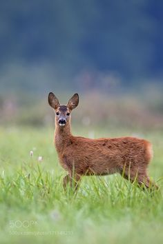 Young roe-deer in a clearing by gibsy1