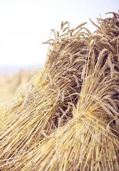 Lammas is celebrated before harvest time, and traditionally honors the very first signs of autumn. It focuses on the time of year when the corn and grain—such as wheat, barley and oat—ripen. Country Farm, Country Life, Country Girls, Country Living, Agriculture, Farming, Wallpaper Paisajes, Harvest Day, Simple Living