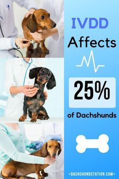 Did You Know That Ivdd Affects About 25 Percent Of All Dachshunds