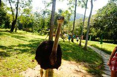 Страусы в парке Янг Бэй