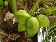 Coconut water can help in removing acne marks from skin. Also coconut oil is very effective when applied on skin burns.