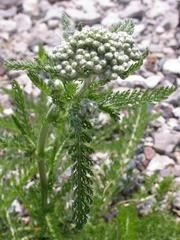 """(AM) Achillea millefolium - Common Yarrow 12-30"""" by 2-4'. Considered weed - spreads all over. Cut back to contain growth. Full sun."""