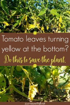 If your vibrant tomato plants start to show yellow leaves on the bottom, particularly with brown spots, most likely you have a common issue. Thankfully, with early intervention, you can save the plant and still harvest many tomatoes in your garden! Tips For Growing Tomatoes, Growing Tomatoes In Containers, Growing Vegetables, Grow Tomatoes, Baby Tomatoes, Garden Tomatoes, Cherry Tomatoes, Yellow Tomatoes, Planting Vegetables