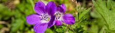 FLORA FAUNA AUSTRIA  | Wildflower walking in the Austrian Alps