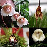 maymun çiçekler