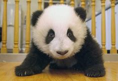 Малыш  панда.