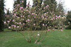 Magnolia 'Pickard's Firefly'-beverboom/tulpenstruik, bekervormige diep winpaars-rode bloemen, bloeit april, liefst vochthoudende licht zure grond.
