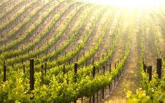 Vineyard-Garden-Wallpaper-Desktop - All About Garden Wallpaper, Hd Wallpaper, Wallpapers, 2560x1440 Wallpaper, Grape Vineyard, Wine Safari, Spa Hotel, Sonoma Valley, Napa Sonoma