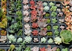 succulent cuttings - perfect for boutonnieres