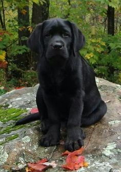 gorgeous! Black #Labrador Retriever Puppy Dogs #Lab #Labs #Dog