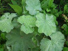 Ladies Dew Drop,  garden- MM