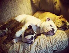Bulldog sleepover (via Freekibble)