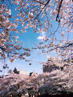 UW Cherry Blossoms 2015 | Photo by Emma Yu