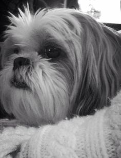 Shih Tzu ~ Taffy...looks just like my girl, Maggie