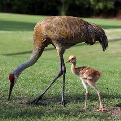 Sandhill Cranes - Dawn Huczek