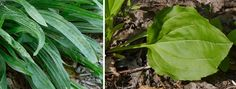 English and common plantain leaves