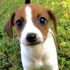 It's #findingfureverfriday and as a special treat there are 4 of these pups! They are currently located in TN. Let's try to get to 100 shares so these pups can find their forever homes!  Bey Bibbles is an approximately 7 week old mix breed pup that currently weighs 4 pounds. Our best guess of breed for Bey is jack russell terrier mix-- although her brothers appear to perhaps have some doxie in them as well Bibbles has longer legs and a slightly different body frame. Bibbles is certainly the…