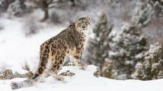 El leopardo de las nieves: un animal misterioso