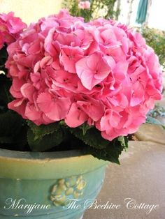 The Beehive Cottage: Potted PINK Hydrangeas
