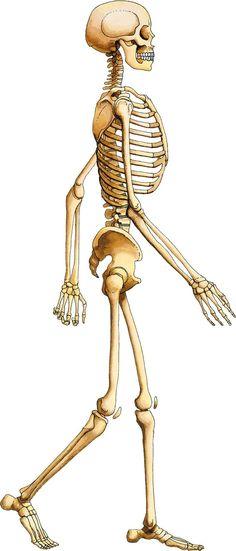 skeleton walk cycle pack | shortfilm, adobe and graphics, Skeleton
