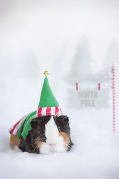 Make them look this elfin' cute! Include your small pet in the holiday merriment with PetSmart's Christmas outfits for Guinea Pigs. #givethanks