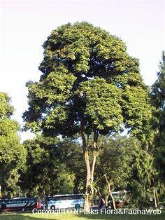Callerya atropurpurea (Wall.) Schot-Millettia atropurpurea-moderate water Sun Plants, Flora And Fauna, Water, Plants Sunny, Gripe Water