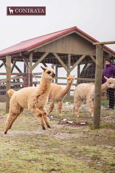 I will jump, jump, jump :D #alpaca #coniraya