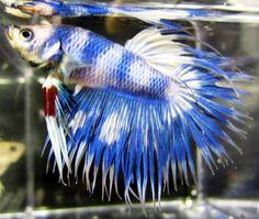 Blue & White Crown Betta...beautiful markings!