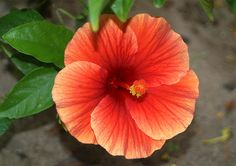 show hibiscus flowers | Orange Hibiscus rosa sinensis flower                                                                                                                                                                                 More