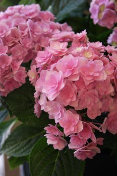 hydrangea you & me together pink