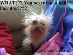 Bad hair Day!!! Yorkie