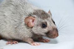 Silvermane rat