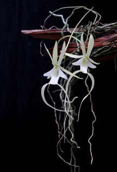 The ghost orchid - a fascinating rare plant , basically impossible to propagate. It has no leaves, does not depend on photosynthesis and does not manufacture its own food . The Ghost orchid can live underground for years, without showing any external signs and will only bloom when all conditions are optimum.