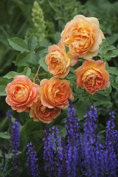 """English Roses Contrast With Blue   """"It's incredibly effective to contrast any color rose with plants that have blue or purple flowers. 'Lady of Shalott' is magnificent against the vivid blue of salvia."""" 