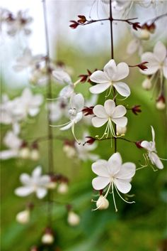 Common name: Bridal Veil, Nodding Clerodendron, Wallich's glorybower, Nutan bleeding heart • Garo: Bolungre, Samapul • Khasi: Horrandieng, Jathang kaskei, Mei sohrandi • Mizo: Tratuba Botanical name: Clerodendrum wallichii Merr. Clerodendrum wallichii Family: Verbenaceae (Verbena family) Synonyms: Clerodendrum nutans, Clerodendrum penduliflorum