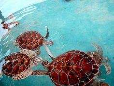 Sea turtle at the turtle farm on Isla Mujeres, The Island of Women.