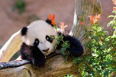 #panda #pandas #cub Yun Zi
