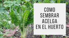 Como sembrar acelga en el huerto / EcoInventos.com